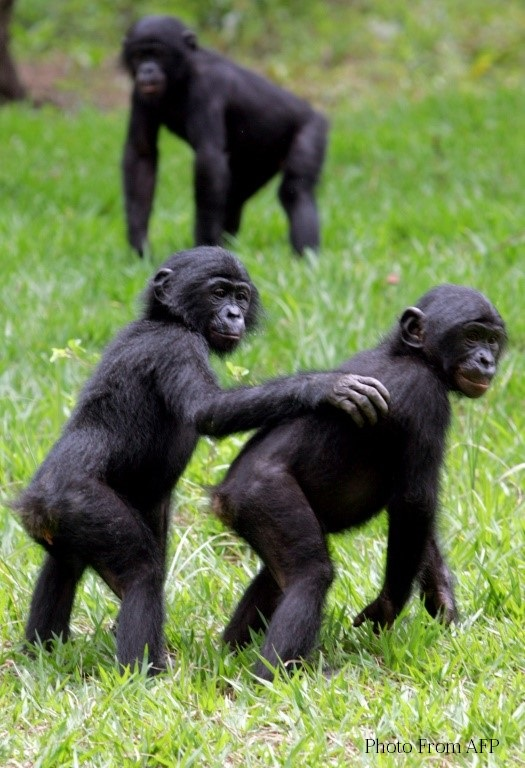Banobo Bonobo •