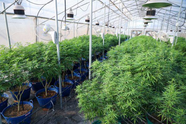 Cannabis plantation Thailand
